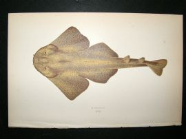 Couch: 1867 Antique Fish Print. Monkfish
